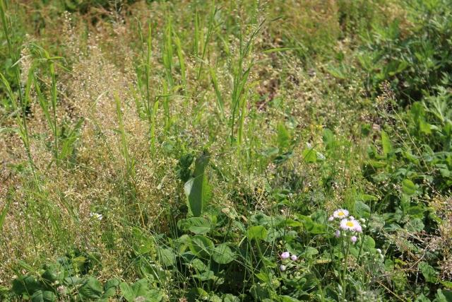抜いても抜いてもまた生える!芝生に生える雑草の対処法を教えて!