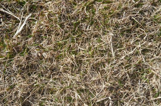 枯れた芝生を手入れで復活させるには?原因と正しい手入れをご紹介!