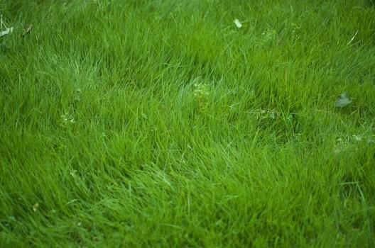 寒冷地型芝生の特徴