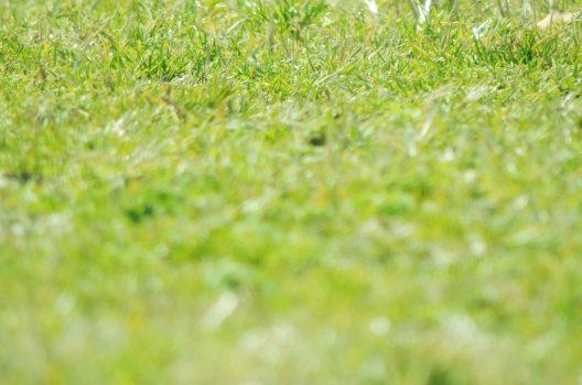 野芝は放置すると上へ伸びていきやすい